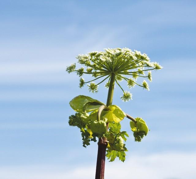 Соцветия борщевика. Такие «зонты» лишь от одного растения могут подарить миру от 20 до 100 тысяч семян