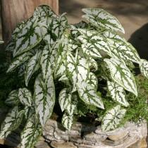 Каладиум Гумбольдта (Caladium humboldtii)