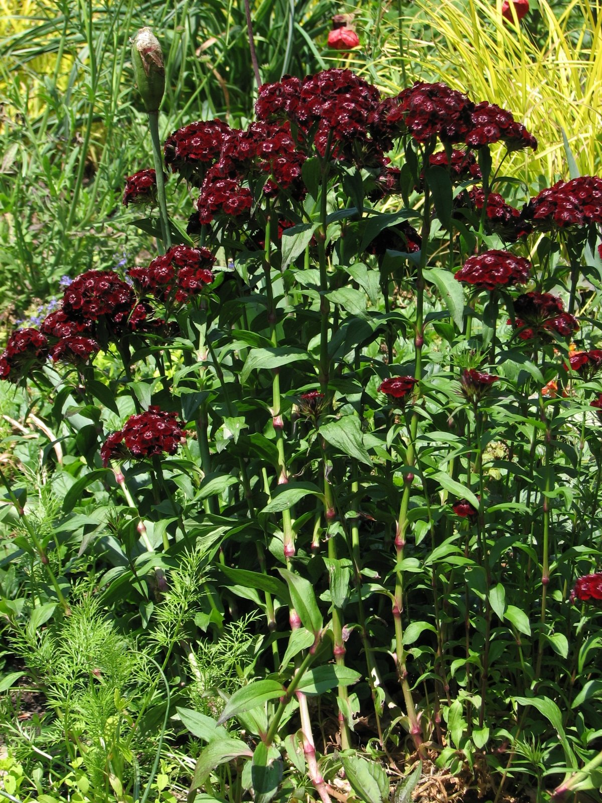 dianthus-heart-attack-2