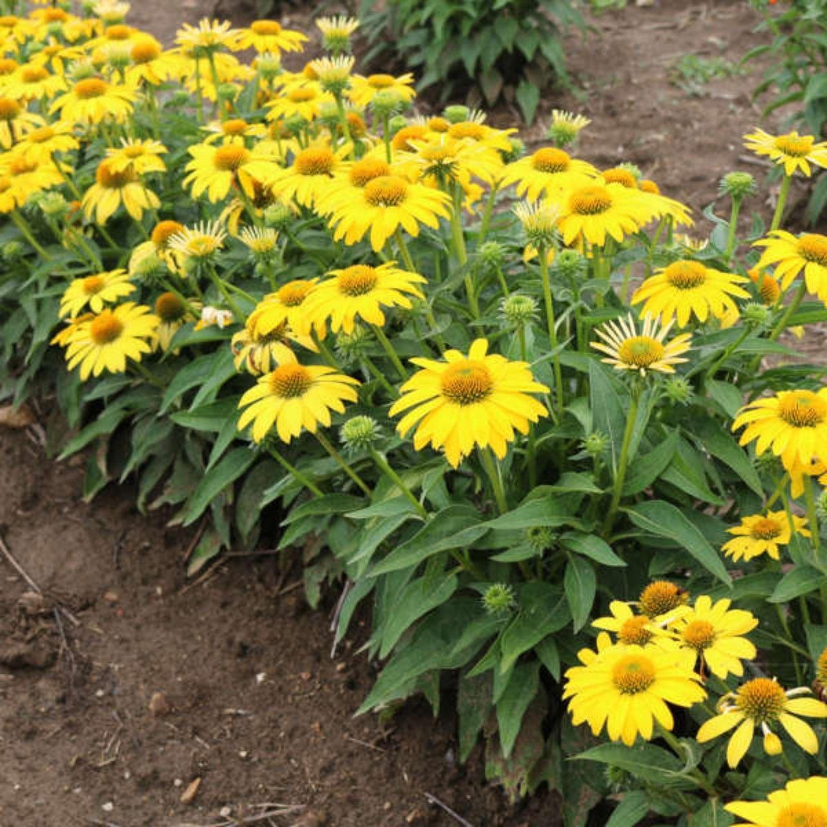 echinacea-sombrero-lemon-yellow-2