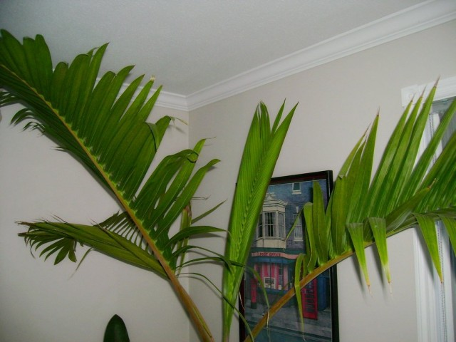 Комнатные гиофорбы-пальмы высотой до 2-х м, но все равно крупные и объемистые