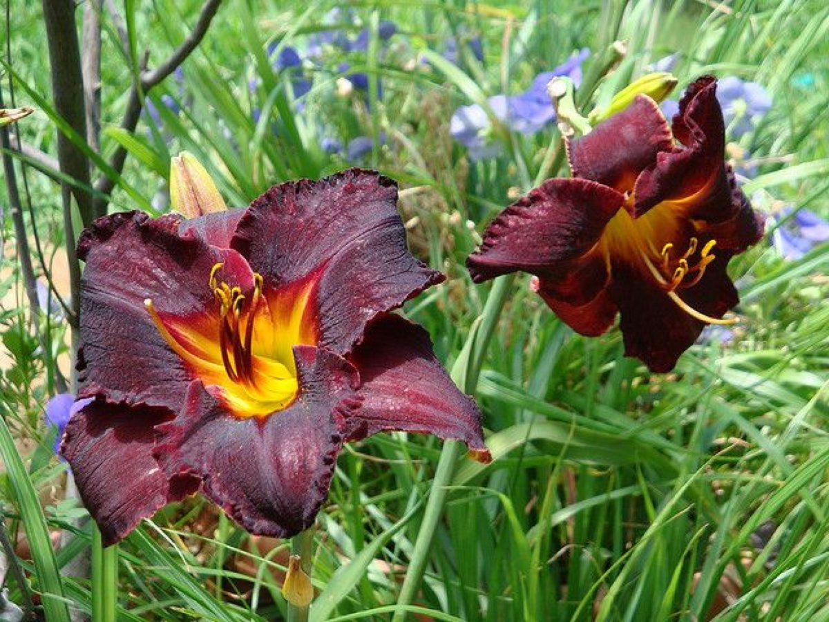 hemerocallis-black-stockings-3_result