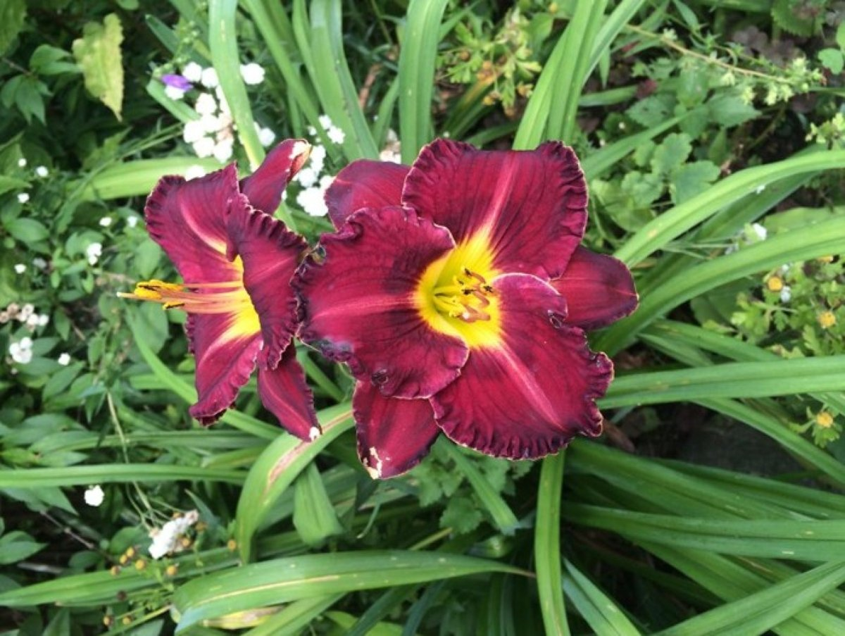 hemerocallis-black-stockings-4_result