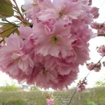 Вишня мелкопильчатая (Prunus serrulata)
