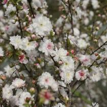 Вишня железистая (Prunus glandulosa)