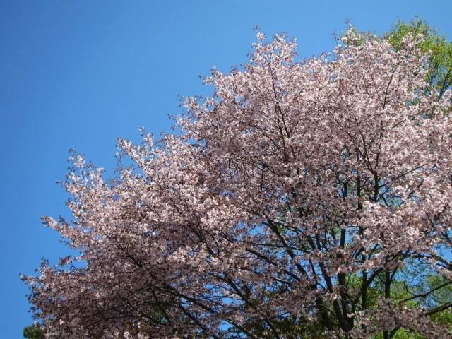 Вишня сахалинская (Cerasus sachalinensis)