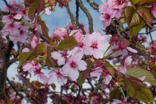 Вишня саржента (Prunus sargentii)