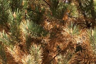 Грибковое заболевание на ветвях хвойного растения