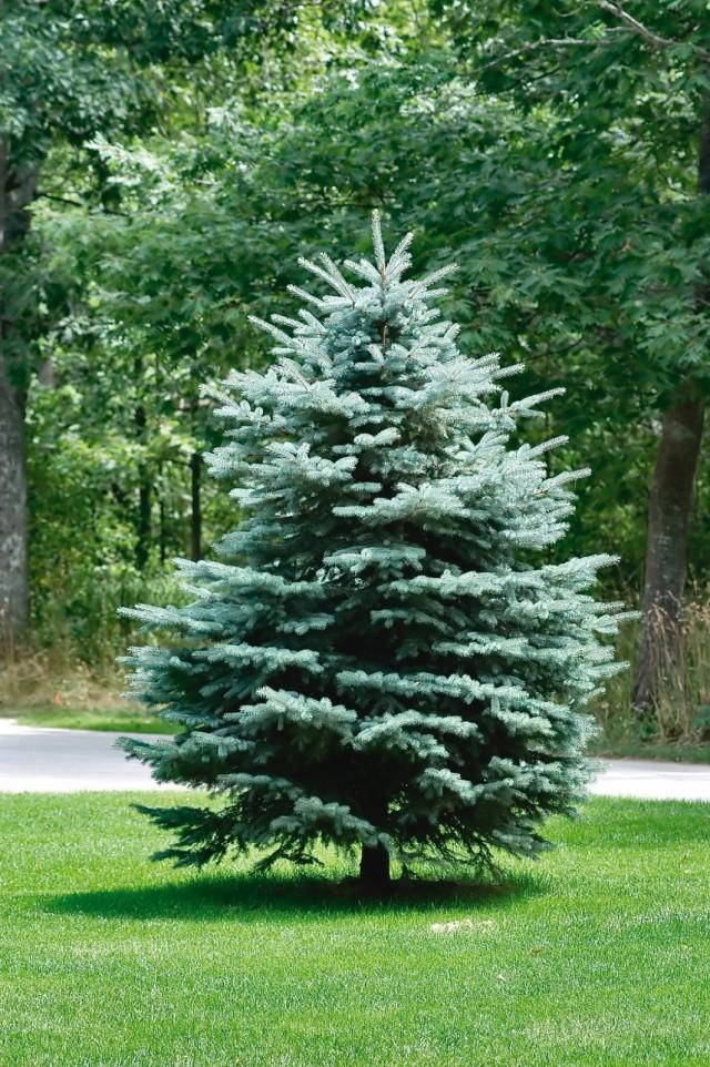 Хвойное дерево или кустарник на участке – это всегда здорово, а много хвойных - ещё лучше