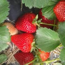 Земляника садовая «Фраголареа»