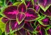 Возвращение комнатных колеусов, или Новая жизнь декоративной крапивки