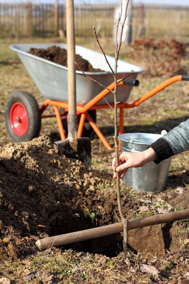 Посадка саженца плодового дерева
