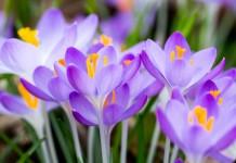 Ботанические крокусы — самые ранние и желанные