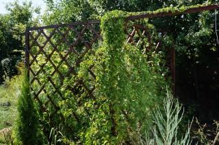 Девичий виноград и актинидия создают зеленые стены