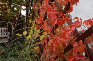 Девичий виноград и актинидия осенью образуют яркое желто- красное сочетание