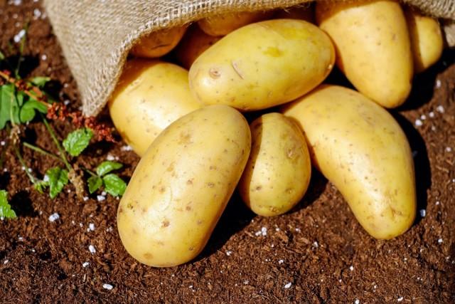 Посевной материал картофеля можно защитить от колорадского жука, медведки и проволочника на длительный срок и при этом сэкономить время и деньги