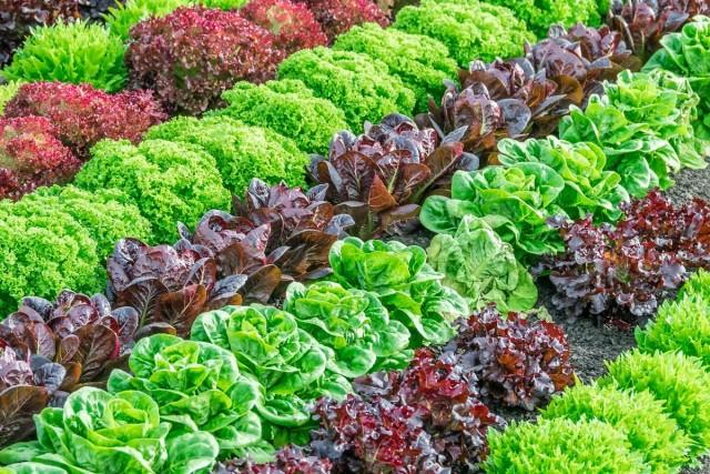 Сорта салатов для выращивания весной, летом и осенью