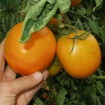 Томат «Оранж»