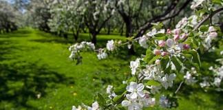 Лучший способ не допустить распространения болезней и вредителей - провести профилактические мероприятия по защите сада