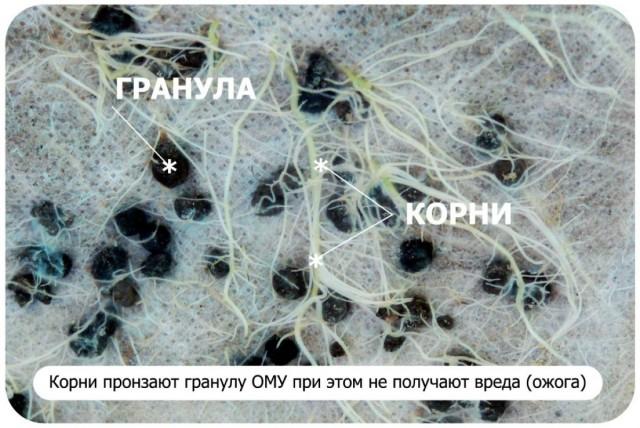 При внесении ОМУ в почву, споры получают достаточное количество влаги, кислорода и переходят в вегетативную форму – начинают свою жизнедеятельность