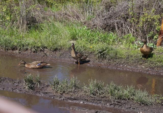 Во время наводнения дикие утки перепутали дороги в поселке с рекой