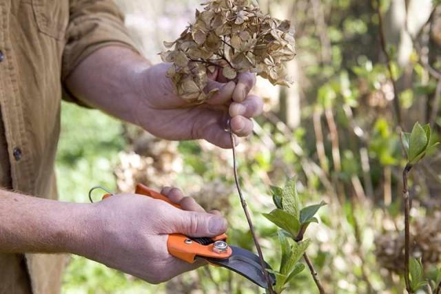 В апреле обязательно обрезают гортензию древовидную и метельчатую