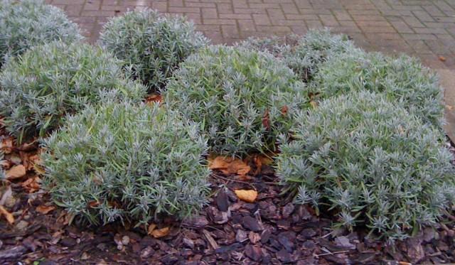 Лаванду важно обрезать весной, чтобы придать растению сферическую форму