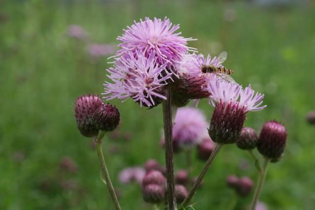 Бодяк полевой (Cirsium arvense)