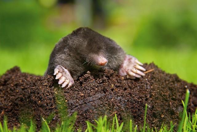 Добывая себе пропитание, кроты могут в короткие сроки перерыть весь газон