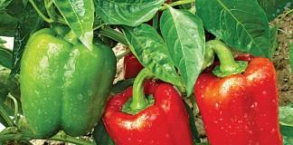 «Триходерма вериде» — безвредный биопрепарат против вредных болезней