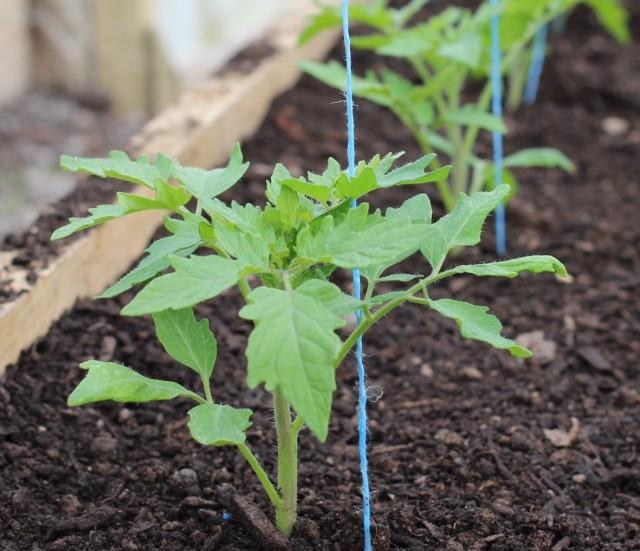 При высаживании рассады томатов высокорослых сортов важно сразу установить для них опору