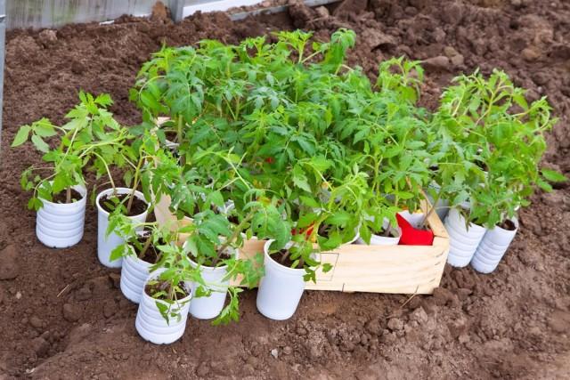 О готовности томатов к высадке на грядки можно судить по наличию 8-9 листочков