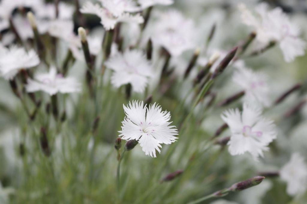 Dianthus-plumarius-Greystone-1