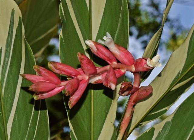 Альпиния ленточная (Alpinia vittata)
