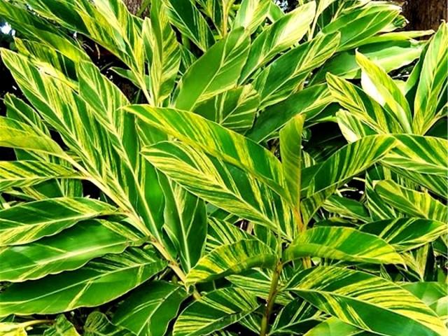 Альпиния церумбет (Alpinia zerumbet)