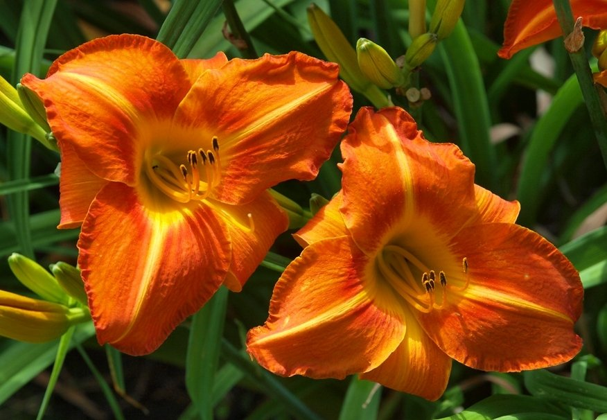 hemerocallis-tuscawilla-tigress-2