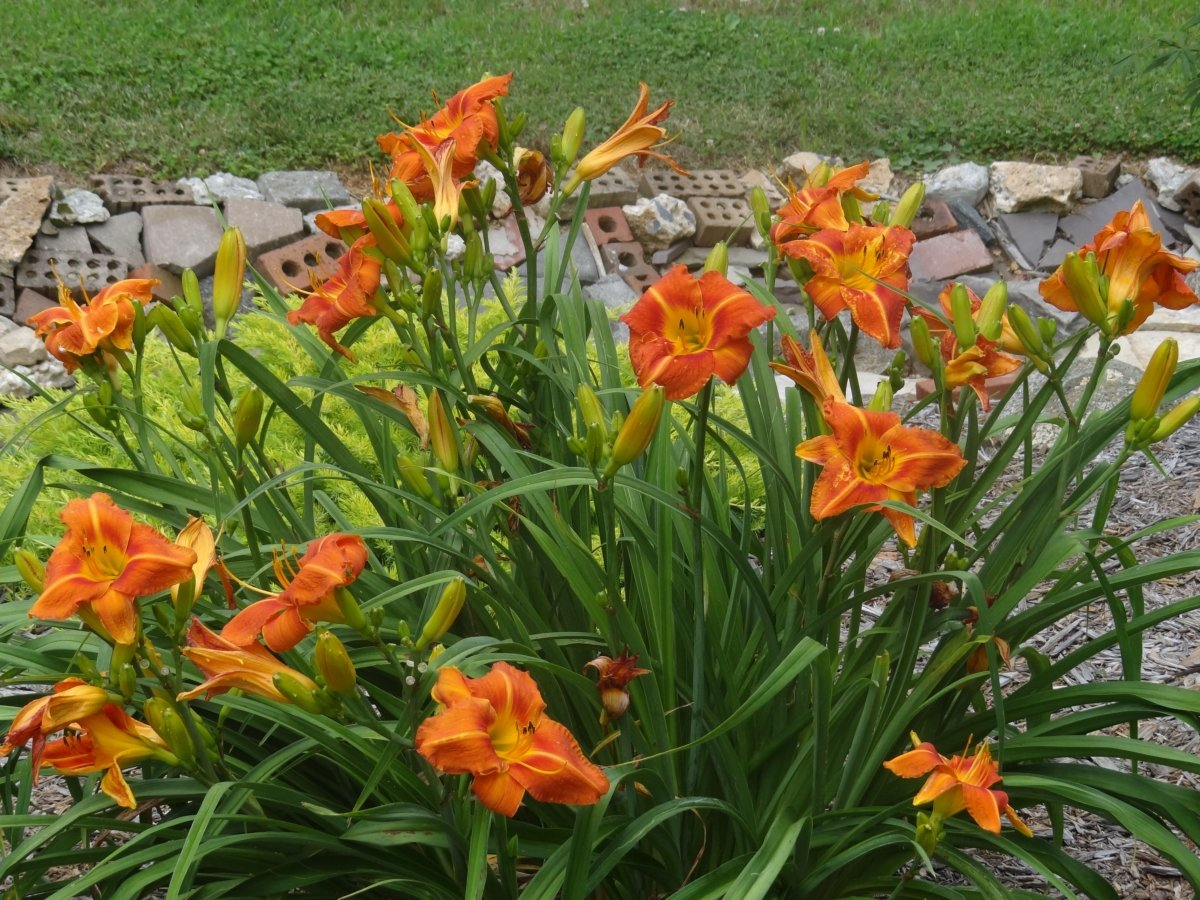 hemerocallis-tuscawilla-tigress-3