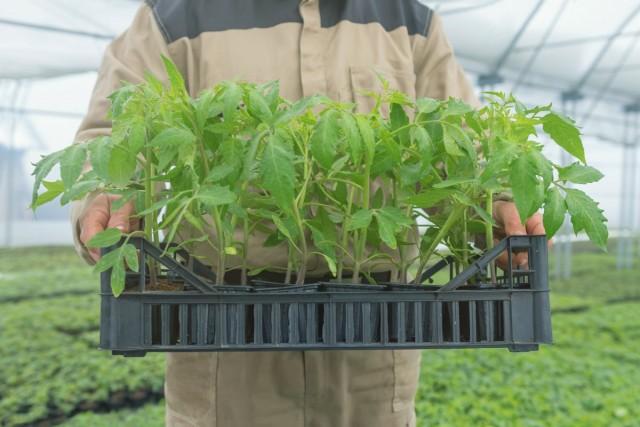 Чтобы рассада имела товарный вид, на всех этапах выращивания могут быть использованы различные приемы стимуляции растений