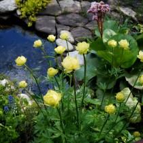 Возле прудика непременно посадите купальницу, которая порадует нежными цветочками в мае