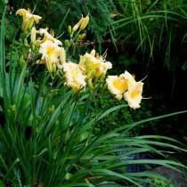 Лилейник прекрасно смотрится на берегу прудика, но при этом важно выбирать не броские однотонные расцветки