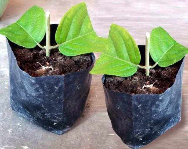 Квисквалисы легко размножаются вегетативно
