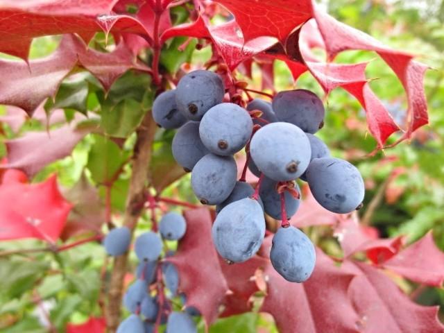 Осенью на фоне бордовой листвы магонии падуболистной синеют кисти ягод
