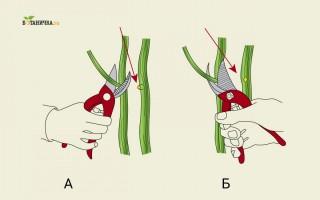 А - неправильная обрезка ветви, Б - правильная обрезка ветви