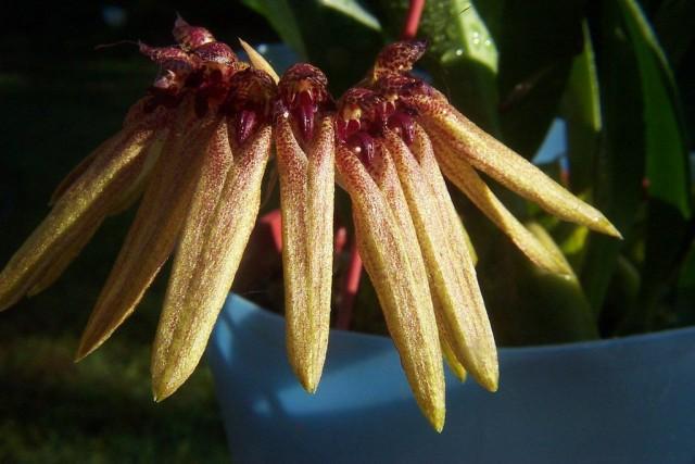 Бульбофиллум пестрый (Bulbophyllum picturatum)