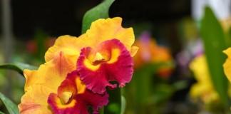 Орхидеи с ароматами фруктов и изысканных духов. Потинара (Potinara)