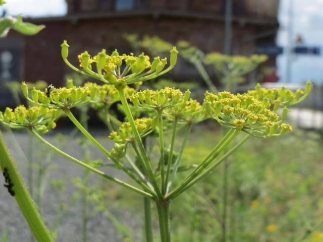 На второй год вегетации пастернака из верхней части сохранившегося после зимовки корнеплода формируются цветоносы