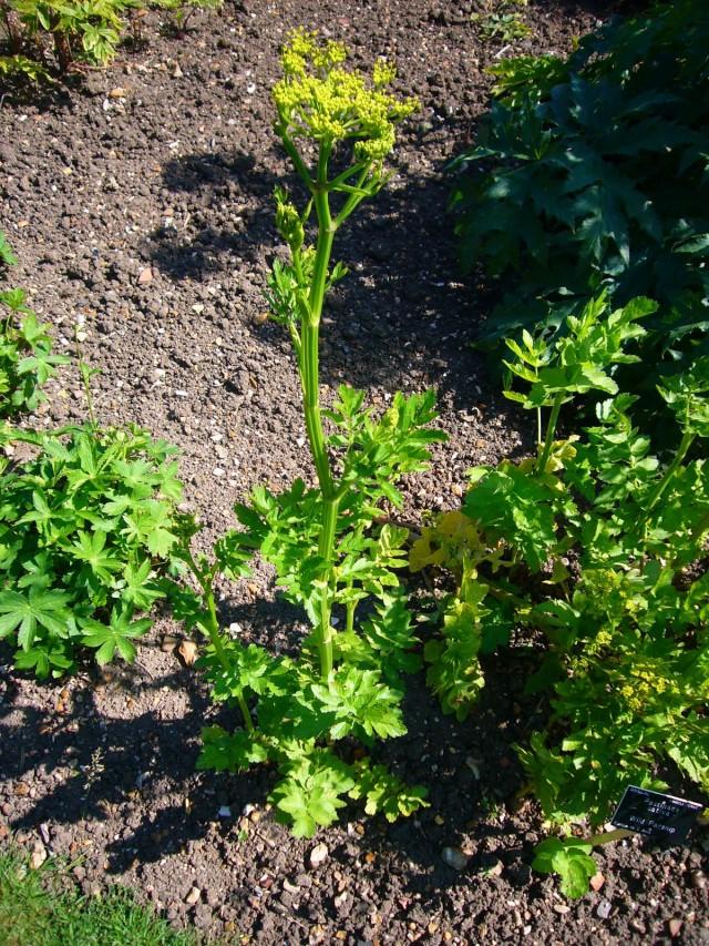 Для получения семян пастернака после сбора урожая оставляют в почве несколько корнеплодов