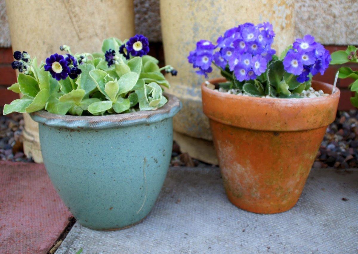 primula-auricula-blue-velvet-3