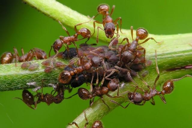 Муравьи считаются вредителями в саду, несмотря на то, что их лесные собратья весьма полезные насекомые