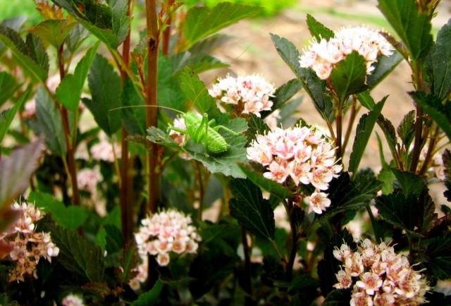Пузыреплодник калинолистный для малоуходного сада подходит идеально